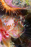 island kelpfish, Alloclinus holderi, Anacapa Island, Channel Islands, California, USA, East Pacific Ocean