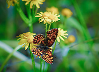 Montana butterfly feeding on wild, yellow daisies