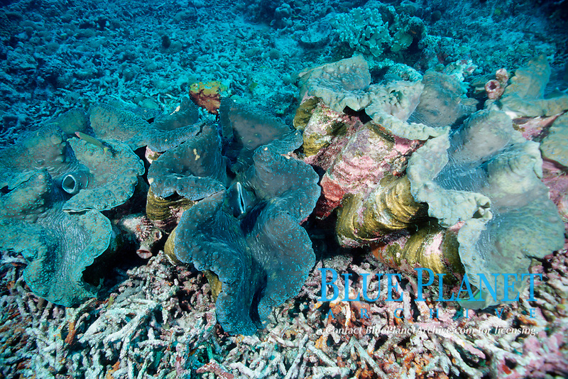 Giant clams, Tridachna species, Bunaken, Indonesia, Sulawesi Sea, Pacific Ocean