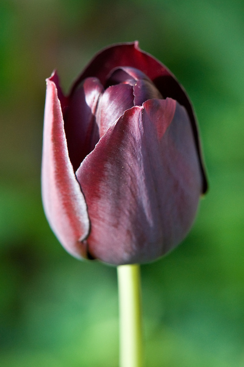 Purple-black tulip 'Queen of Night', early May.