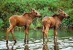 Moose calves standing in water, Denali National Park, Alaska
