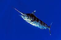 blue marlin, Makaira nigricans, off Kona Coast, Big Island, Hawaii, Pacific Ocean