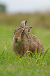 Green-tongued hare by Richard Ellis