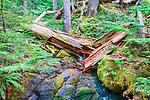 Understory of old growth forest along the Ohanapecosh River in Mt. Rainier National Park, Washington State, USA.