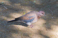 Laughing Dove, Kruger NP, SA