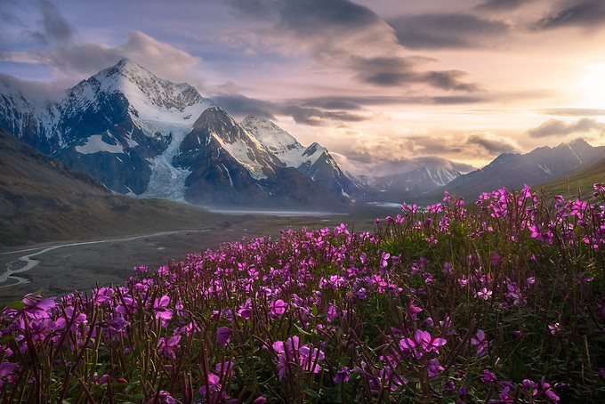 Two 12,000 foot peaks in the eastern Alaska Range framed by a grove of wildflowers at sunset.