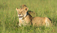 Lioness (Panthera leo) finishes the remains of a Cape Buffalo kill while her enemy the Spotted Hyena lurks behind her