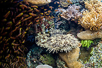 Golden sweepers, Parapriacanthus ransonneti, surround a Tasselled wobbegong, Eucrossorhinus dasypogon, which lies in a hole on a coral reef near Misool, Raja Ampat, Papua, Indonesia, Pacific Ocean