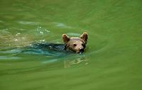 European Brown Bear cub (Ursus arctos)