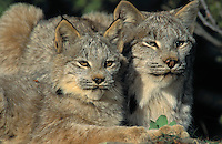 Lynx with 4 month old kitten. Autumn.  North America. Felis lynx canadensis.
