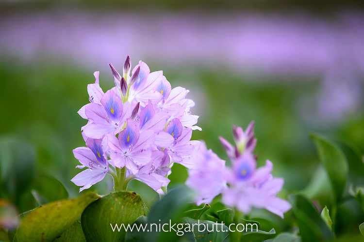 Flower of water hyacinth (Eichhornia crassipes).  Northern Pantanal, Cuiaba River, Mato Grosso, Brazil.