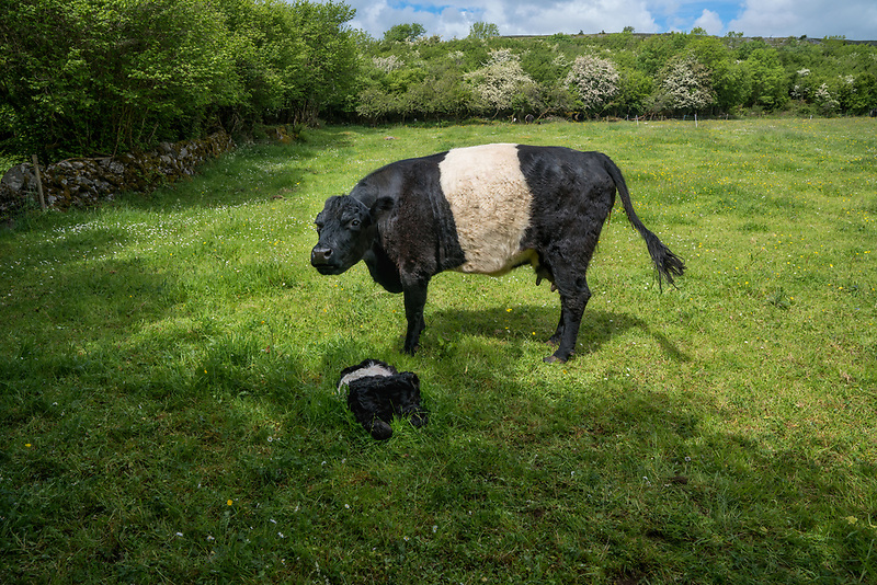 Belted or Banded or Galloway cow. cow with newborn calf. The Burren, County Clare, Ireland