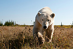 Adult polar bear (Ursus maritimus) on tundra vegetation, shore of Hudson's Bay, Canada, late September