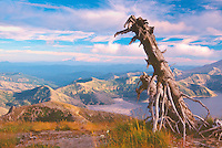 Standing Dead Tree, Spirit Lake and Mt. Hood, Mt. Margaret Backcountry, Mt. St. Helens National Volcanic Monument, Washington, US, August 2004