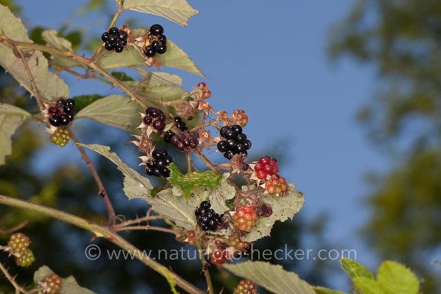 Brombeere, Früchte, Rubus fruticosus, Bramble