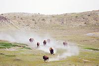 Bison running across dry badland area.  Western U.S., summer.