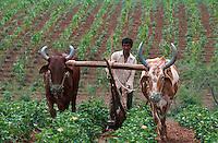 INDIA Madhya Pradesh, biore organic cotton project, weeding with cattle at organic cotton farm / INDIEN, biore Biobaumwolle Projekt, Unkraut jaeten mit Ochsengespann im Narmada Tal