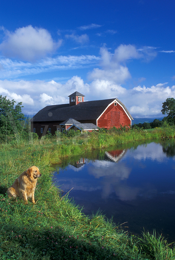 dog, Vermont, VT, A Golden Retrievers sits next to a pond on a farm with a red barn in Warren.