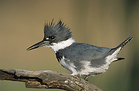 Belted Kingfisher, Megaceryle alcyon,male looking for fish, Willacy County, Rio Grande Valley, Texas, USA, May 2004