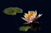 Water Lily, San Angelo, TX