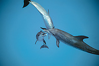 Atlantic spotted dolphin, Stenella frontalis, Bahamas, Caribbean, Atlantic