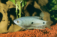 Gepunkteter Fadenfisch, Punktierter Fadenfisch, Blauer Fadenfisch, Trichopodus trichopterus, Trichogaster trichopterus, three spot gourami, blue gourami, Le Gourami bleu, Labyrinthfische, Fadenfische, Anabantoidei