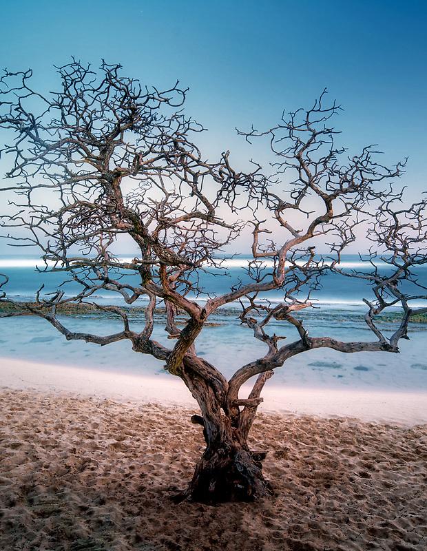 Dead tree. Hookipa Beach. Maui, Hawaii