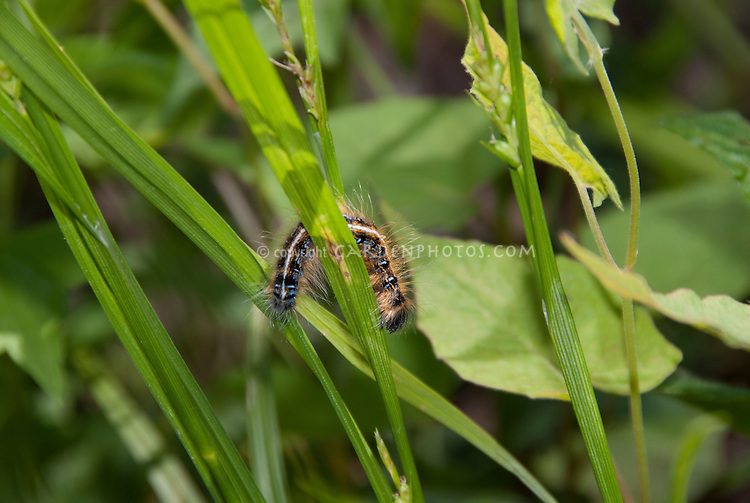Eastern Tent Caterpillar insect pest Malacosoma americanum