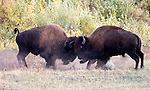 Sparring bison. Yellowstone