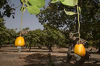 Cashew Apple with Cashew Nut Hanging from Tree, near Sokone, Senegal