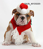 Kim, CHRISTMAS ANIMALS, photos,+White background,White background++++,GBJBWP39220,#xa# wearing a Father Christmas hat