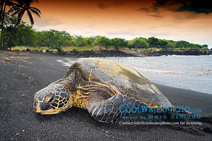 Green Sea Turtle, Chelonia mydas, basking in the sun, Punalu`u Black Sand Beach, Big Island, Hawaii, Pacific Ocean