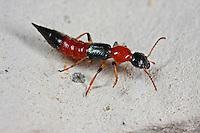 Uferkurzflügler, Ufer-Kurzflügler, Gemeiner Uferräuber, Paederus littoralis, Paederus litoralis, rove beetle, staphylin du littoral