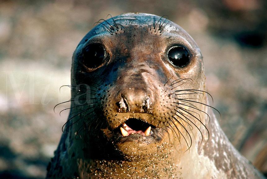 Close up portrait of a female elephant seal's face