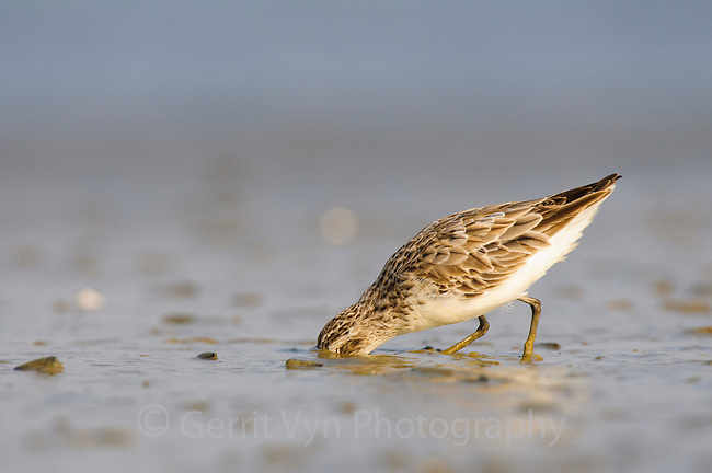 Broad-billed Sandpiper (Limicola falcinellus) in basic plumage. Nan Thar Island, Rakhine State, Myanmar. January.