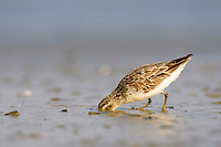 Broad-billed Sandpiper (Limicola falcinellus) in basic plumage. Nan Thar Island, Rakhine State, Myanmar. January.