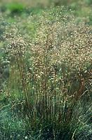 Draht-Schmiele, Drahtschmiele, Geschlängelte Schmiele, Deschampsia flexuosa, wavy hair-grass