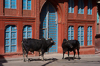 Bulls in front of a Bikaner Old Havellie, Rajasthan India