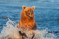 A photo of a coastal brown bear running through the water after salmon. Grizzly Bear or brown bear alaska Alaska Brown bears also known as Costal Grizzlies or grizzly bears Grizzly Bear Photos, Alaska Brown Bear with cubs. Purchase grizzly bear fine art limited edition prints here Grizzly Bear Photo Bear Photos,