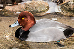Redhead duck swimming in pond facing left.