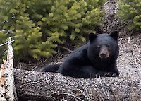 This black bear (Ursus americanus)very sluggish and unsteady, almost drunk. Probably had indulged too much of a good thing! Madison River, Yellowstone