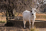 Damon, Texas; a white Brahma cow standing next to a water trough in early morning sunlight