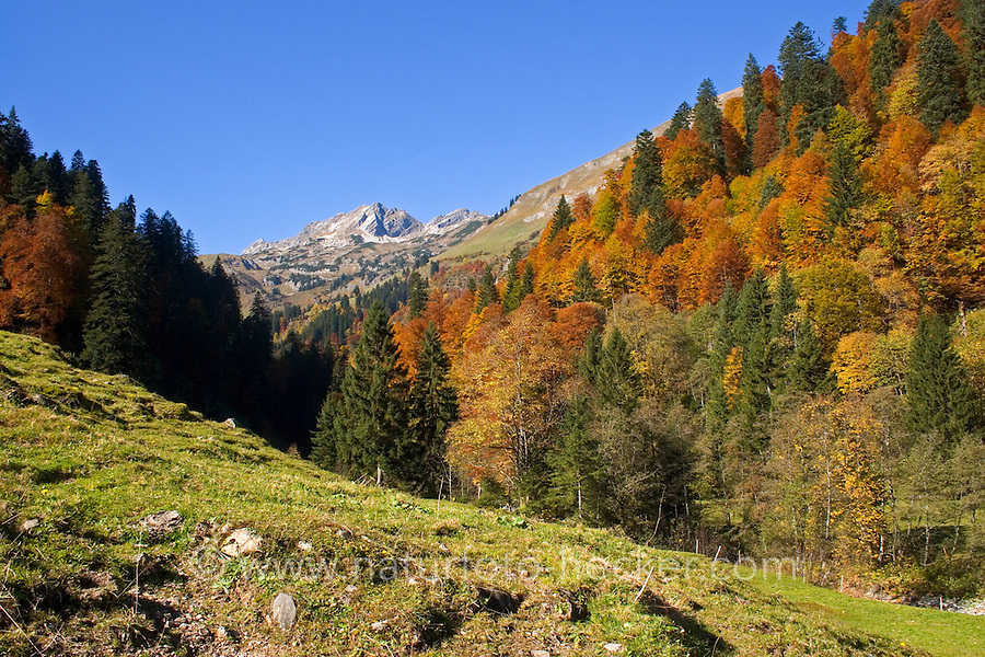Bergwald im Herbst, Herbstlaub, Hintersteiner Tal, Hinterstein, Allgäu, Allgäuer Alpen, Bayern, Deutschland. alpine forest, mountain forest, autumn, autumn foliage