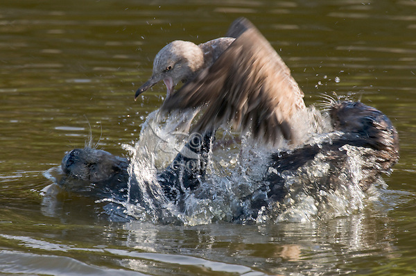 Two Sea Otters (Enhydra lutris) attempt to catch or terrorize a young gull.  The gull was able to fly off.