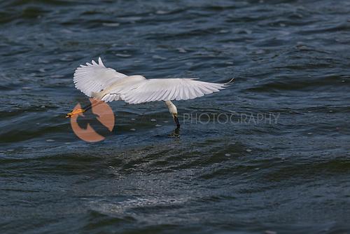 snowy egret in flight dipping beak in water