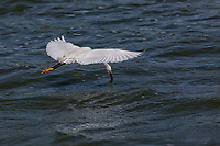 Snowy Egret in flight with wings horizontal, dipping beak in water in flight