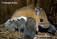 MU28-134z   White-Footed Mouse - nursing 10 day old young -  Peromyscus leucopus