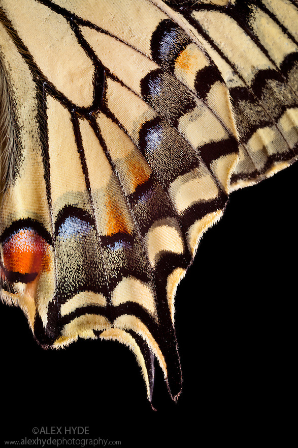 Common Swallowtail butterfly {Papilio machaon} wing close up showing detail of scales. Nordtirol, Tirol, Austrian Alps, Austria, 1700 metres altitude, July.