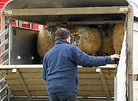 Unloading sheep at Ulverston Auction Mart.