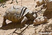 0609-1031  Desert Tortoise Eating Plant Leaves on Desert Floor (Mojave Desert), Gopherus agassizii  © David Kuhn/Dwight Kuhn Photography